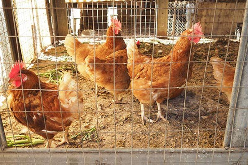 allevamenti domestici galline