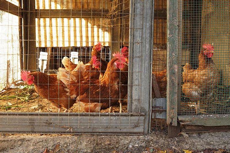 allevamenti polli domestici