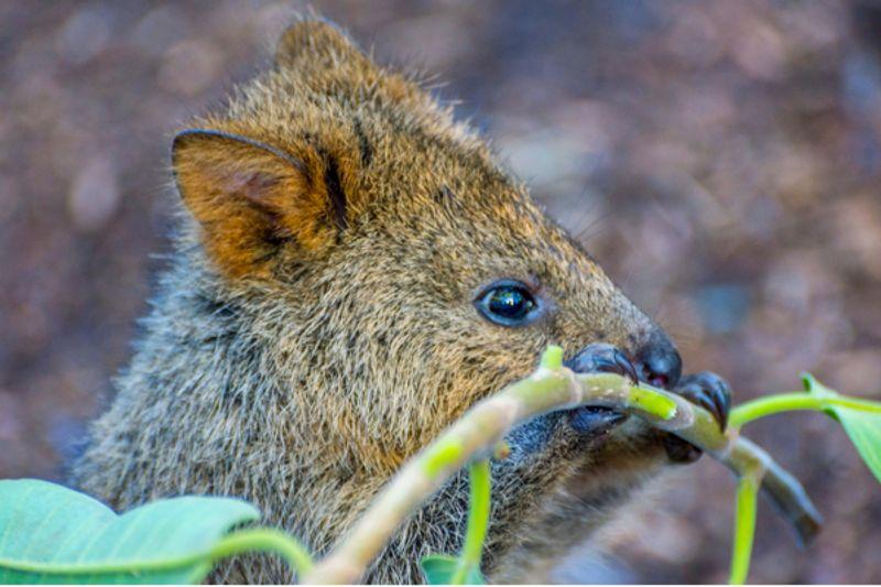Animale australiano: alla scoperta del Quokka
