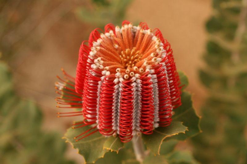 benefici fiori australiani