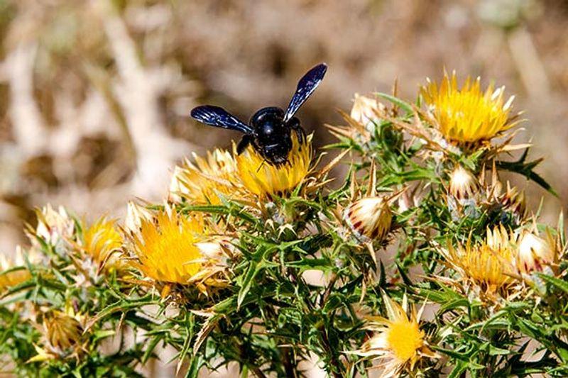 calabrone nero morso