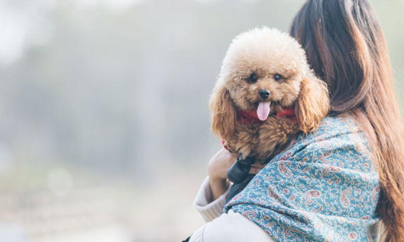 Caratteristiche del cane barbone