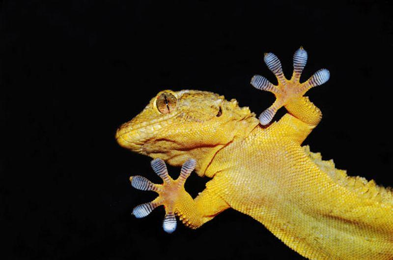 Caratteristiche e alimentazione del geco