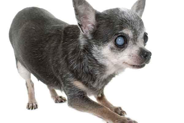 cataratta canina 2