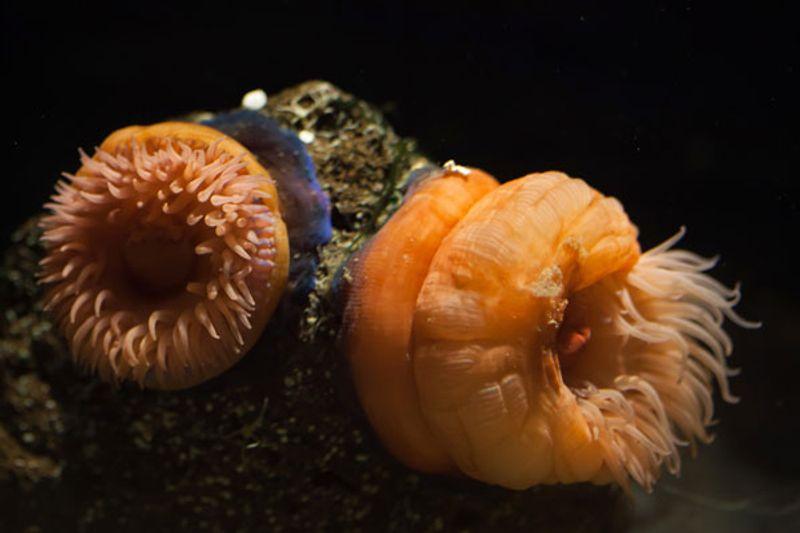 Che cos'è il pomodoro di mare?