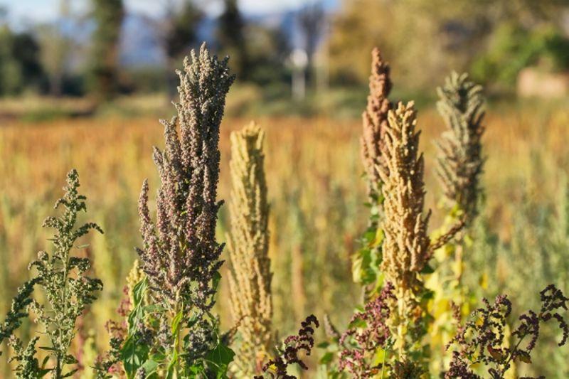 coltivare quinoa