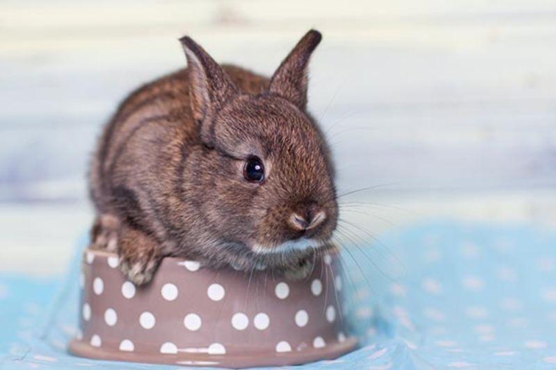 coniglio ariete nano dimensioni