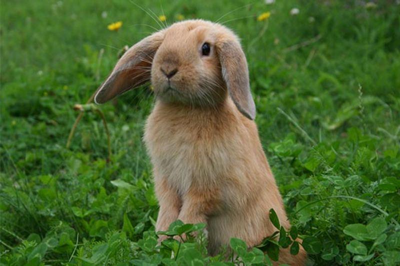 coniglio nano ariete carattere