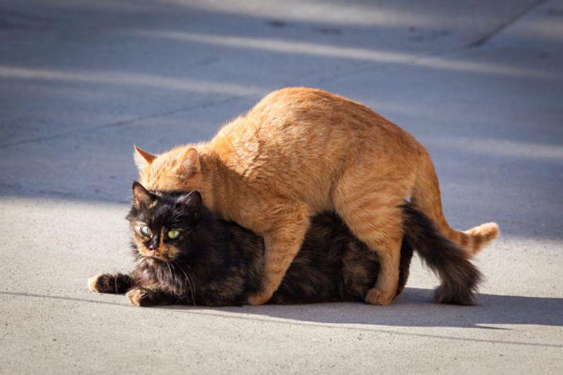 fasi della gestazione dei gatti