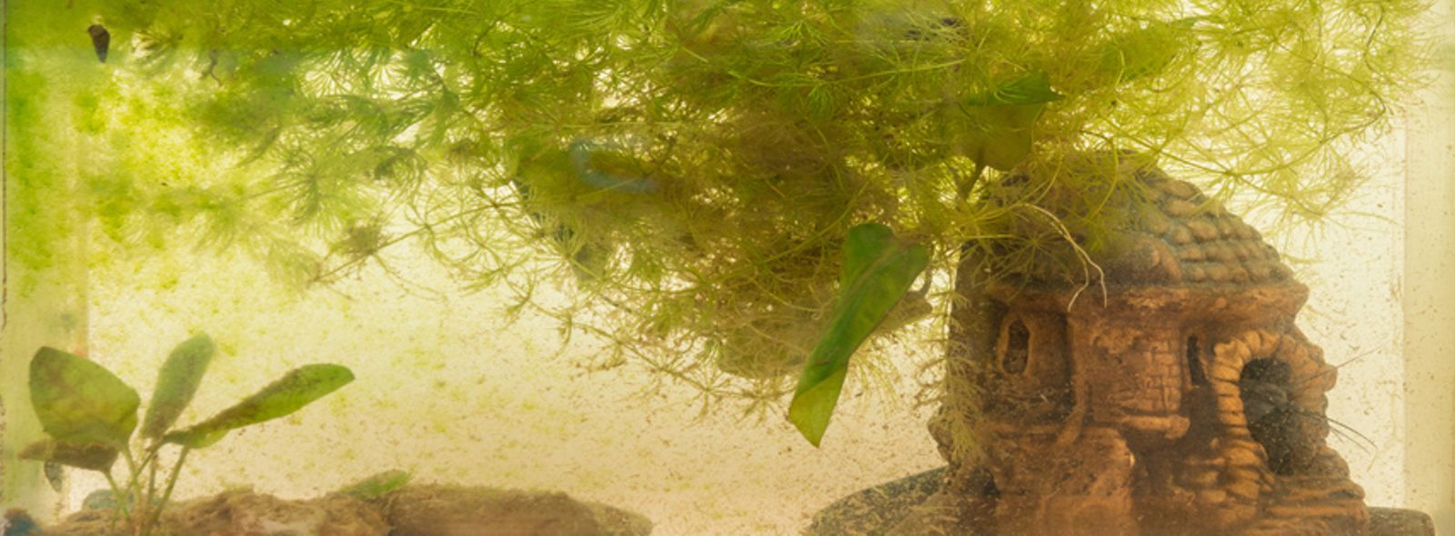 Alghe verdi filamentose