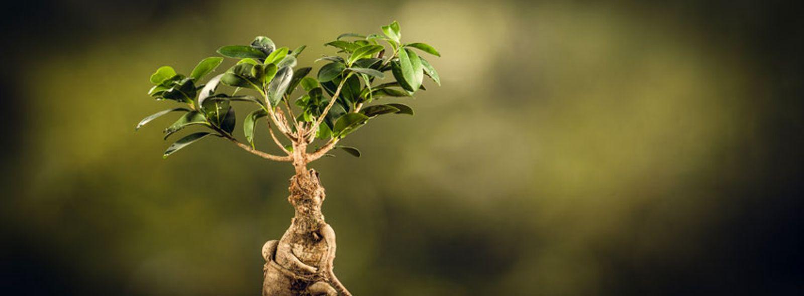 Come si cura il bonsai da interno