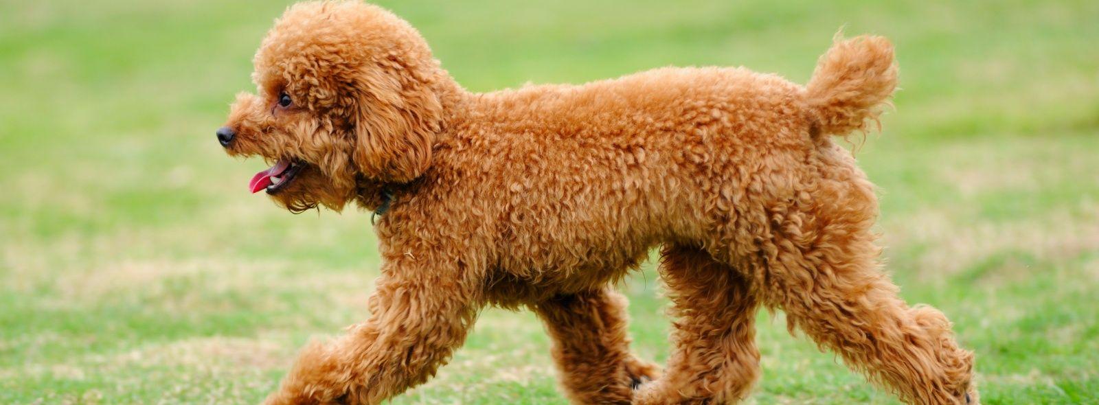 Caratteristiche del cane barbone trovami for Cane barbone