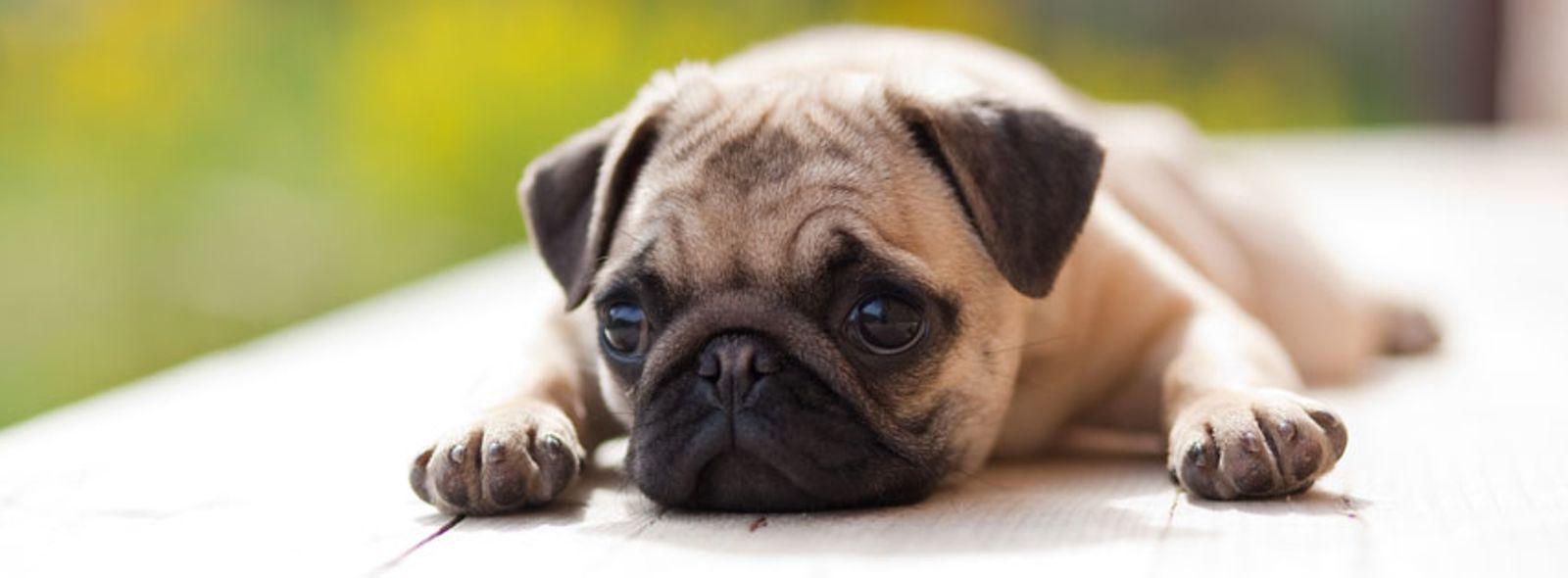 Cani da appartamento taglia piccola  Trovami