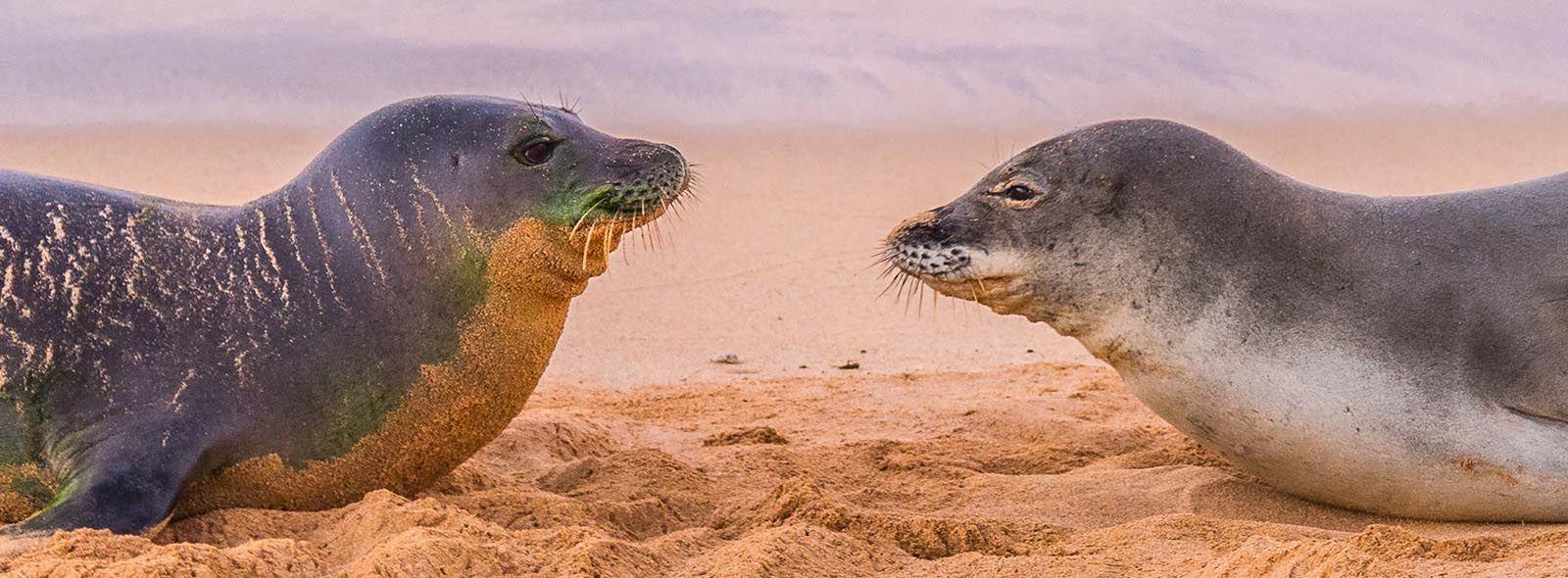 Caratteristiche foca monaca