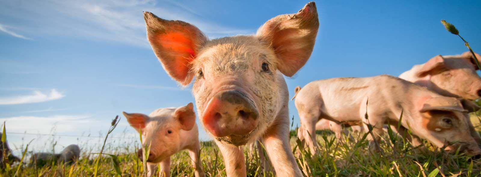 Come allevare un maiale