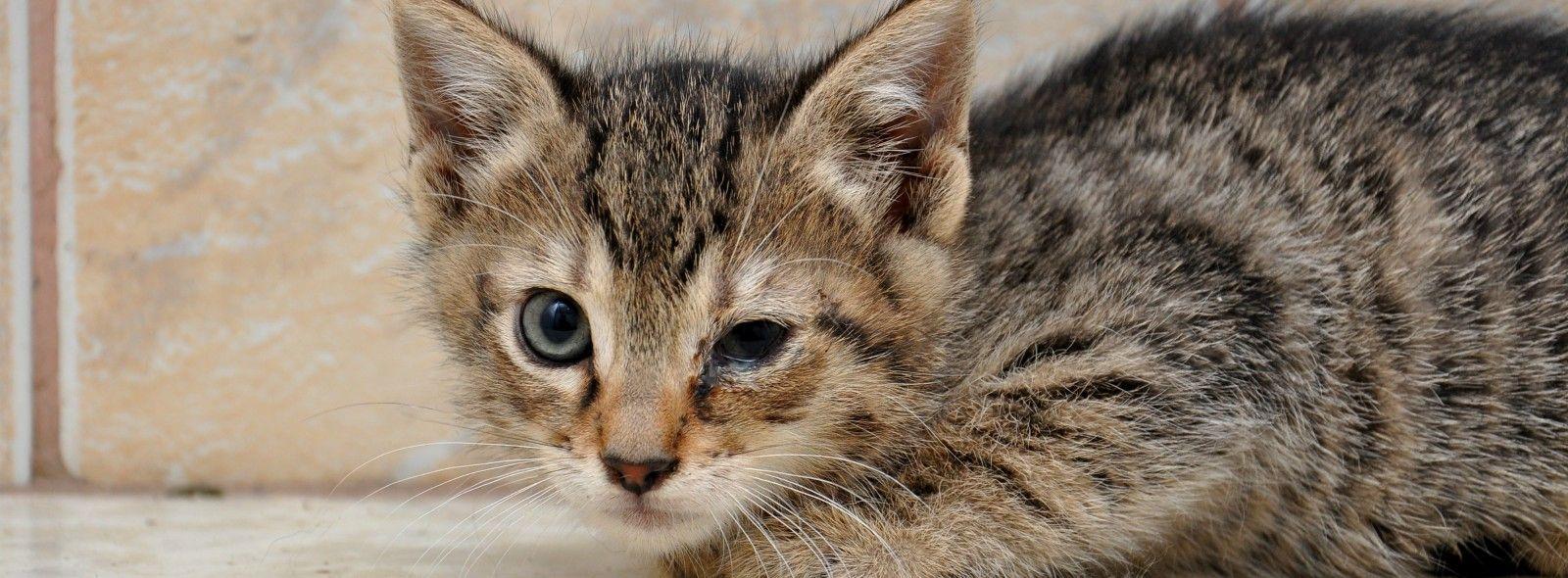 Come curare la congiuntivite nel gatto