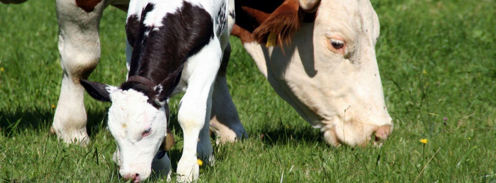 Cosa c'è da sapere sulla gestazione della mucca