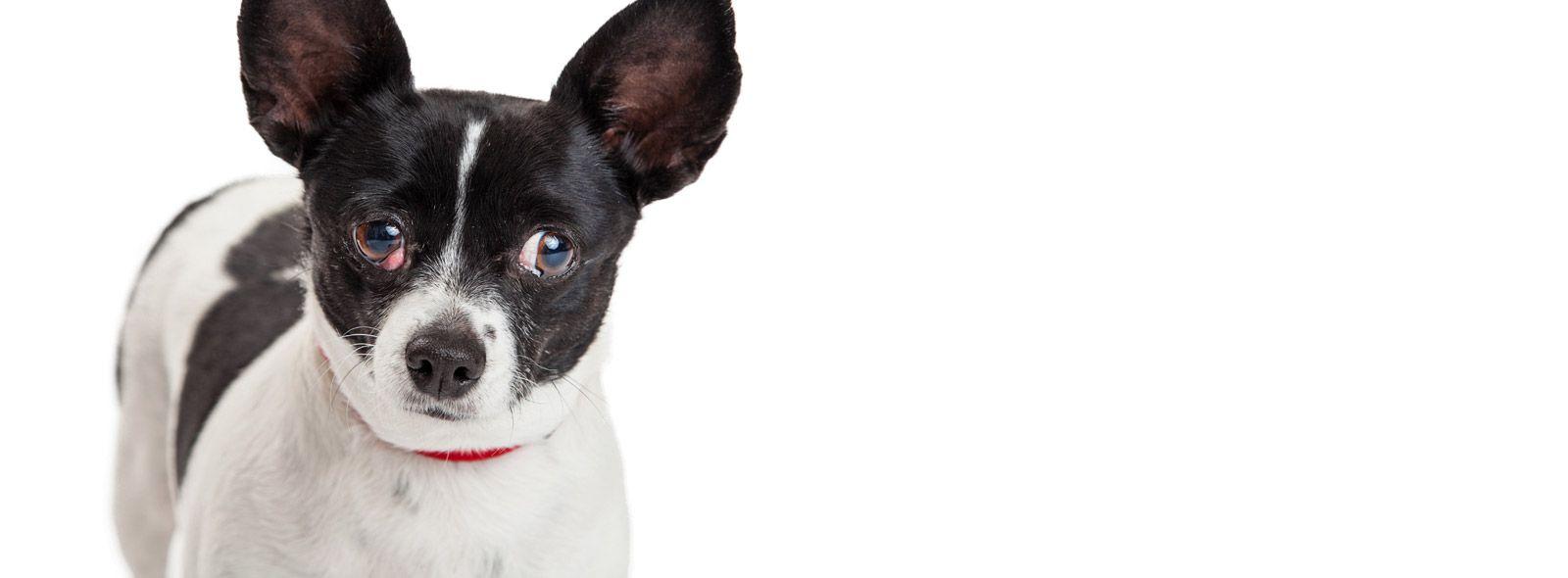 Cos'è la terza palpebra del cane?