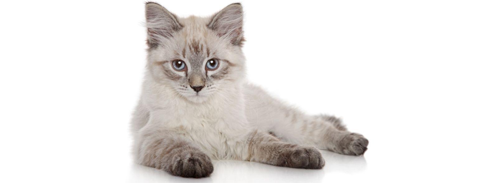 Perché scegliere un gatto siberiano?