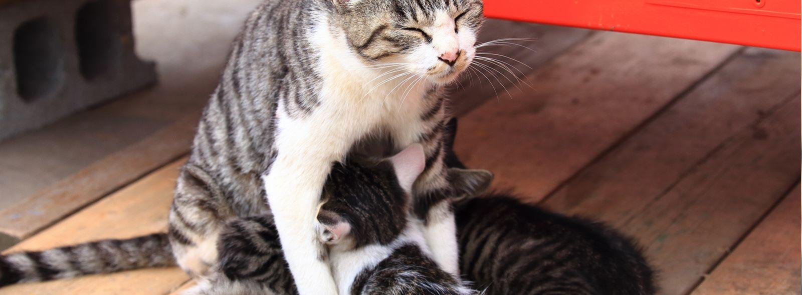 Gravidanza gatto durata