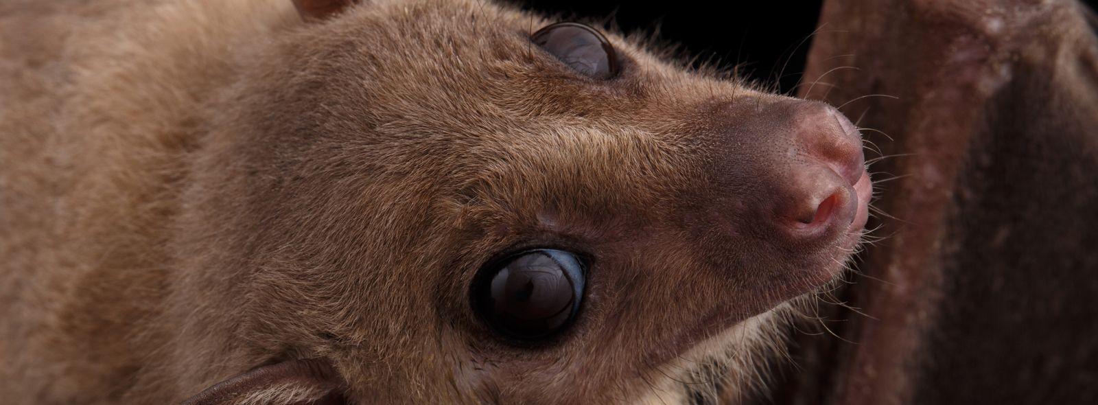 Interpretazione sul sogno del pipistrello