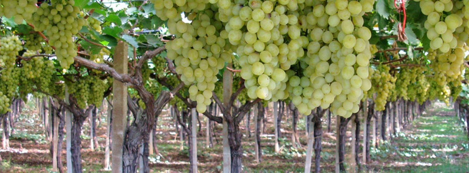 Itinerario degustazione vini Puglia