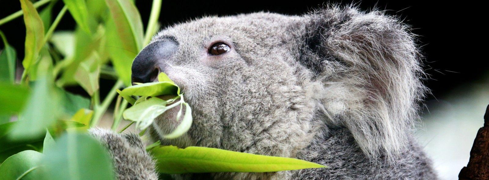 Il koala cosa mangia?