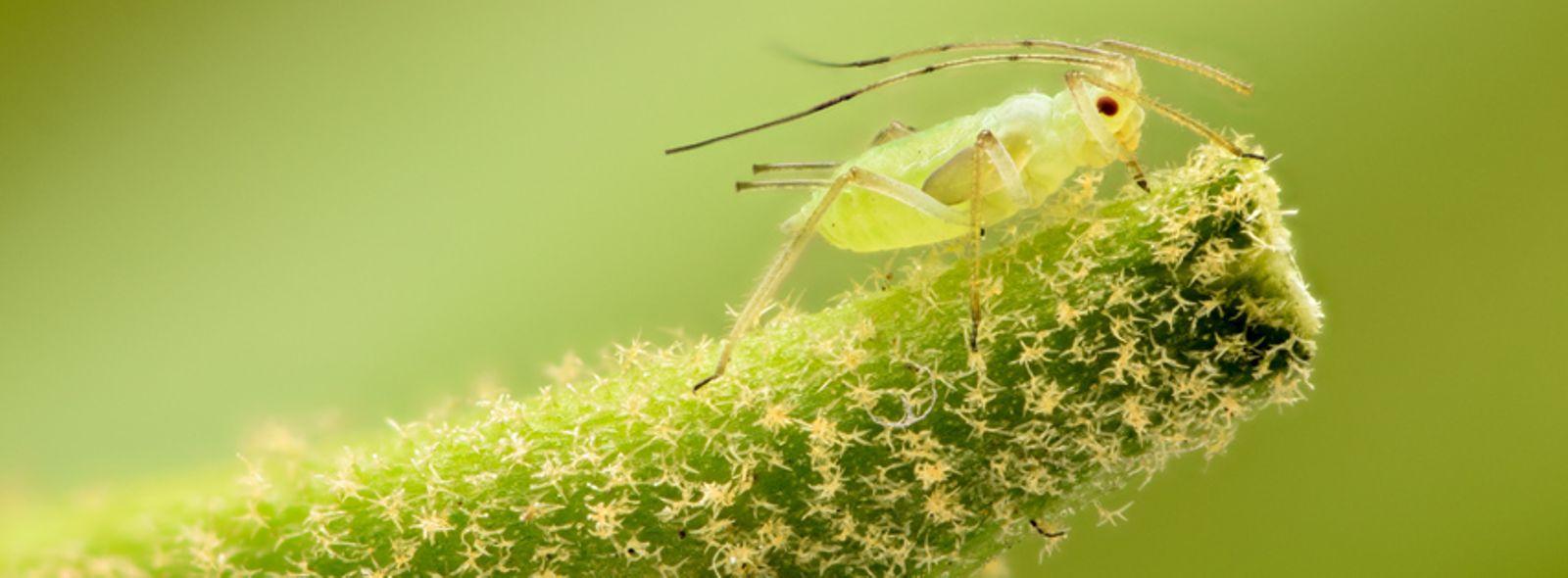 Parassiti delle piante fiorifere trovami for Parassiti piante