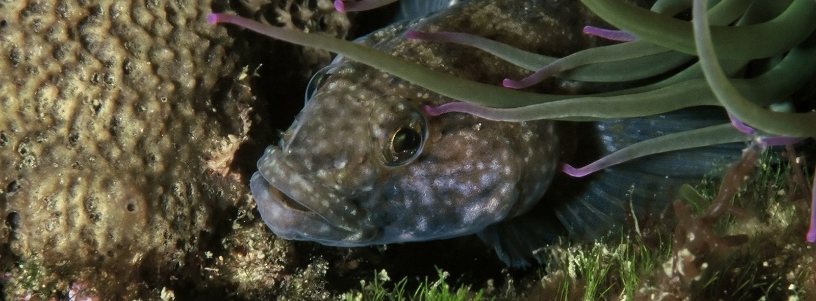 Pesce guatto: alla scoperta del pesce ghiozzo