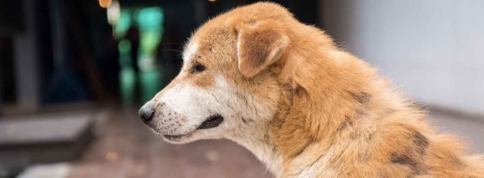 Piodermite cane