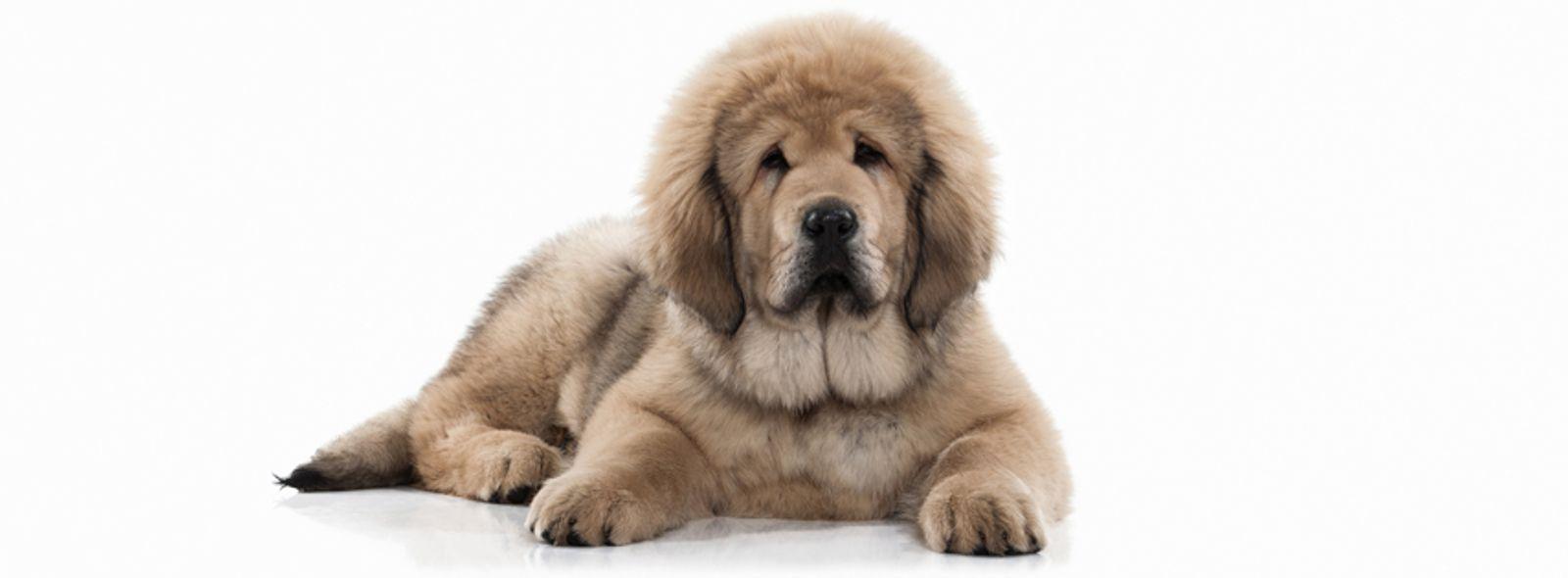 Le razze di cane più costose