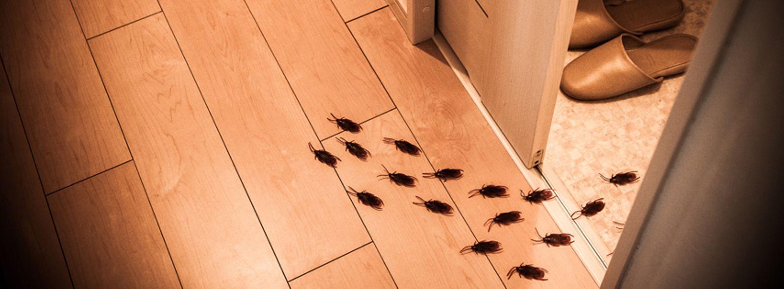Piccoli Scarafaggi In Cucina scarafaggi in casa, come eliminarli | trovami