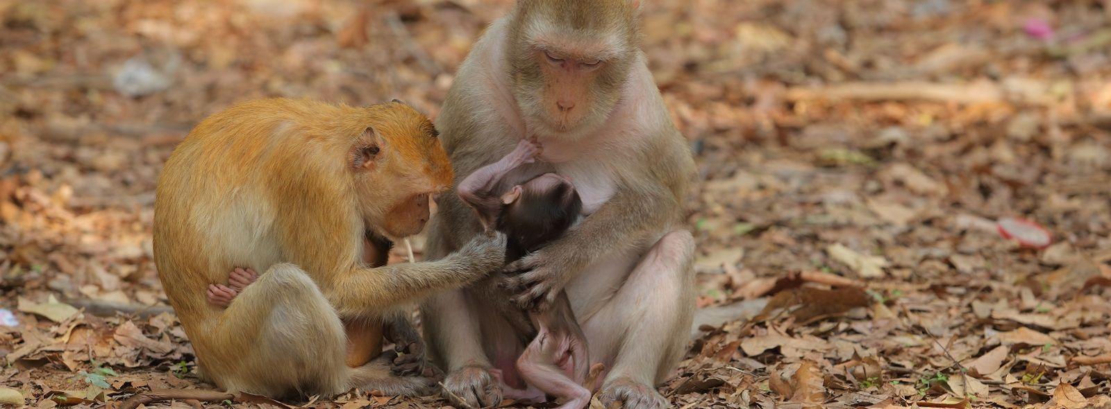 Caratteristiche delle scimmiette brasiliane