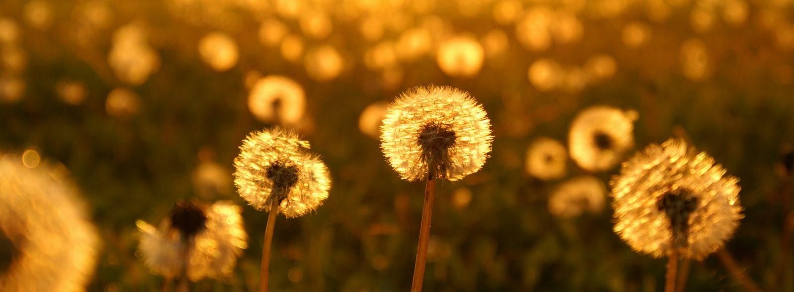 Significato del fiore soffione