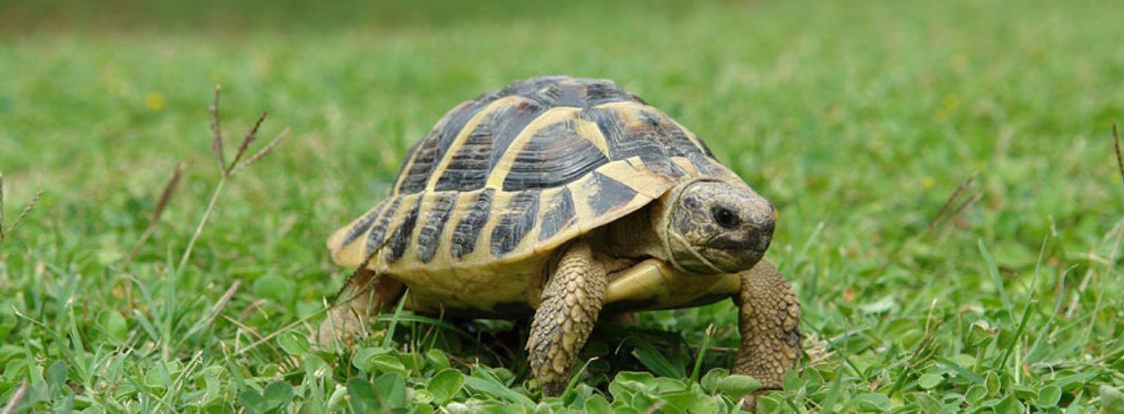 tartarughe di terra come allevarle trovami