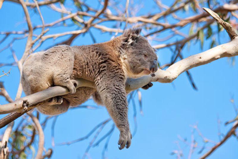 Koala cosa mangia