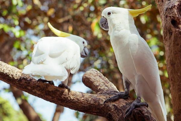 pappagallo bianco