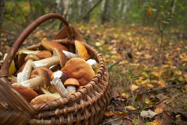 Periodo funghi porcini