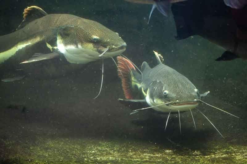 pesce guatto mar mediterraneo