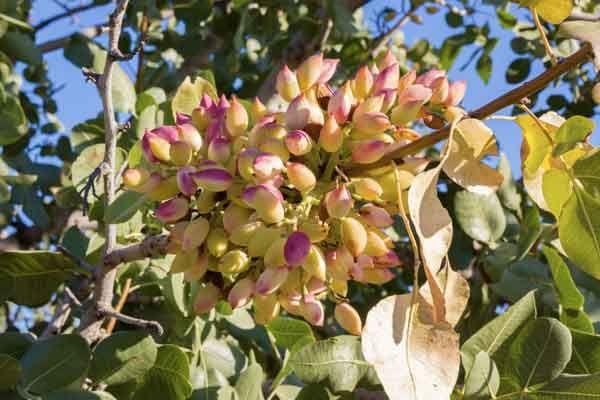 pianta con pistacchi