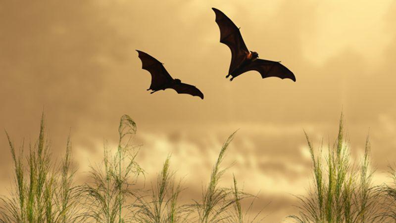 Pipistrello rossastro