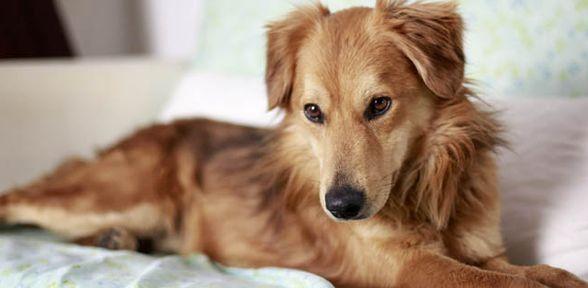 Cani da appartamento, le razze di taglia media