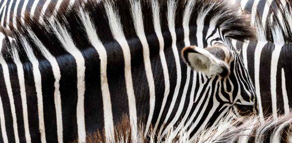 Alla scoperta della carne di zebra