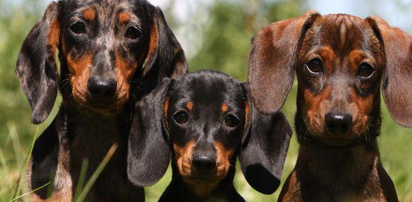 Il bassotto arlecchino: una razza canina da scoprire