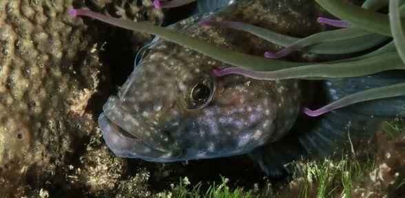 Pesce guatto