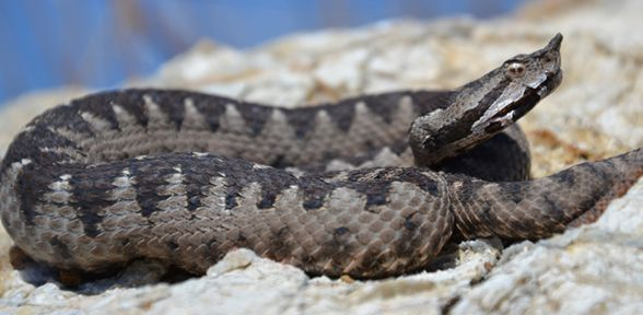 Serpenti velenosi in Italia