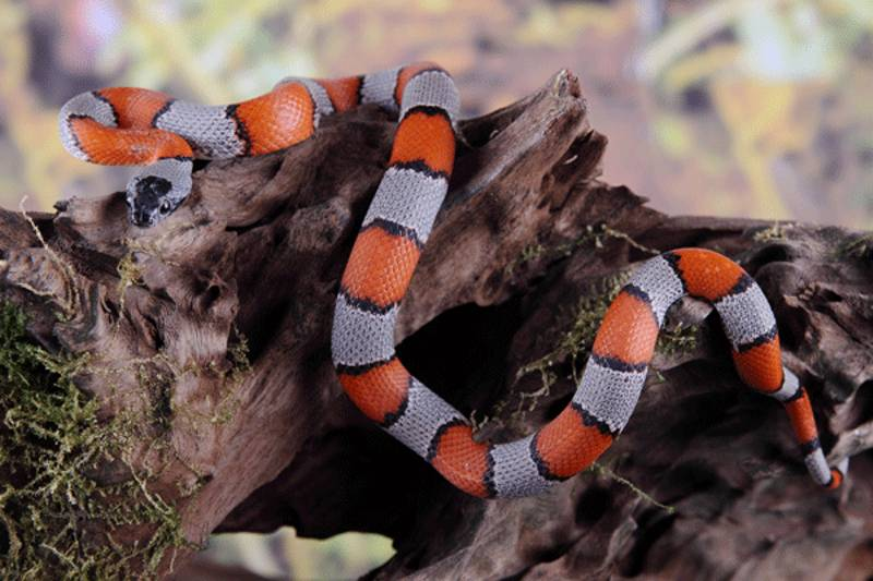 quali serpenti si possono tenere in casa