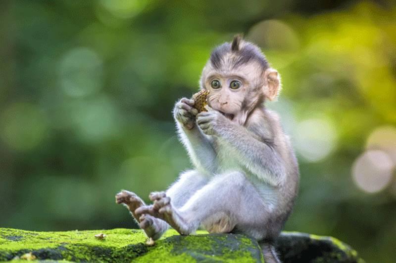 scimmiette brasiliane