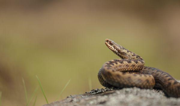 Serpenti velenosi in Italia